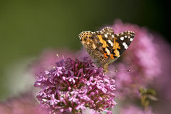 Painted lady butterfly Royalty Free Stock Photo