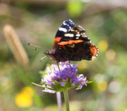Painted lady butterfly on flower. Close-up painted lady butterfly on flower Royalty Free Stock Photos