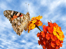 Painted lady butterfly on flower Royalty Free Stock Images