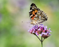 Painted Lady. Butterfly on a Flower Stock Photos
