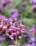 Painted Lady Butterfly on a flower. Closeup of a Painted Lady butterfly on a flower Royalty Free Stock Photography