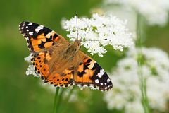 Painted lady butterfly on flower. Green background stock image