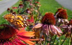 Painted lady butterfly on a flower. An orange and brown spotted painted lady butterfly sitting on a red flower in a garden Stock Photos
