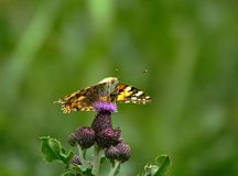 Painted Lady butterfly on flower. royalty free stock images