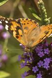 Painted lady butterfly foraging on a verbena flower in Connecticut. royalty free stock photography