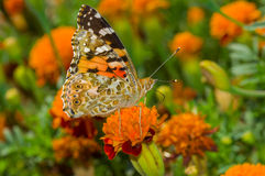 Painted Lady butterfly on a French marigold flower at fall season Royalty Free Stock Photo