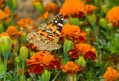 Painted Lady butterfly on a French marigold flower. Painted Lady (Vanessa cardui) butterfly on a French marigold flower stock photos