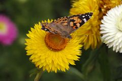 Painted Lady butterfly on Golden Everlasting stock image