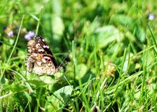 Painted Lady Butterfly On The Grass Stock Image