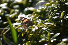 Painted Lady Butterfly on Green Leaf with spiderweb stock image
