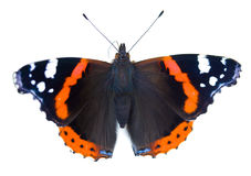 Painted lady butterfly isolated Royalty Free Stock Images