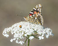 Painted Lady Butterfly with Ladybug Stock Photography
