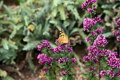 Painted lady butterfly landing on purple flowers Royalty Free Stock Image
