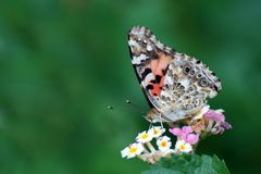 Painted Lady butterfly on a lantana blossom stock photography