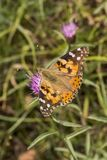 Painted Lady butterfly from Lower Saxony, Germany stock photography