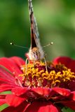 Painted Lady butterfly. Painted lady in nectar Downloads stock image