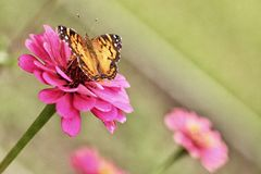 A Painted Lady Butterfly nectars on a pink zinnia. Stock Photos