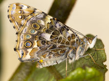 Painted Lady Butterfly Royalty Free Stock Image