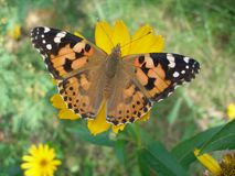 Painted lady butterfly. On yellow flower Royalty Free Stock Image