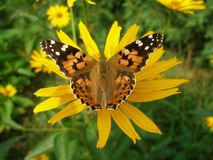 Painted Lady butterfly on Orange Coneflower. Painted Lady called Cosmopolitan butterfly on yellow Periannial Coneflower flower Stock Images