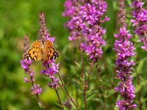 Painted lady butterfly on a pink flower royalty free stock images