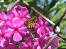 Brown Moth on Pink Flowers. Brown Moth enjoying some sunshine and pink flowers Royalty Free Stock Photography