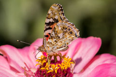 Painted lady butterfly. On a pink zinnia flower stock image