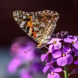 The Painted Lady butterfly on a purple flower of the Erysimum Bowles Mauve royalty free stock photography
