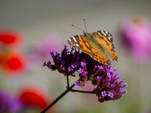 Painted Lady Butterfly on Purple Flower. A painted lady butterfly on a purple flower Stock Photo