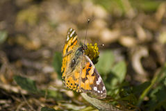 Painted Lady - Butterfly - Rear Stock Images