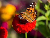 Painted Lady Butterfly on Red Flower. A Painted Lady butterfly perched on a red flower, close up, high angle Royalty Free Stock Photo