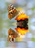 Painted lady butterfly with reflection Royalty Free Stock Images