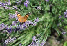 Painted Lady Butterfly. Painted Lady resting on the lavender herbs in my garden. There are splashes or dots of color on the wings. Painted Ladies look similar to stock image