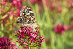 Painted lady butterfly rests on flower. Royalty Free Stock Photography