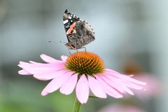 A Painted Lady Butterfly sits on top of a flower royalty free stock images