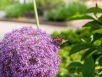 Painted lady butterfly sitting on a beautiful purple allium flower at a botanical garden in Durham, North Carolina. In springtime stock image