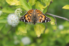Painted Lady butterfly. A Painted Lady butterfly sitting on a flower seen from above Royalty Free Stock Photo