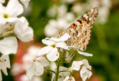 A Painted Lady butterfly sitting on a hespiris Royalty Free Stock Photography