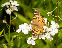 A Painted Lady butterfly sitting on a hespiris Royalty Free Stock Photo