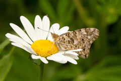 A Painted Lady butterfly sitting on a oxeye daisy. A Painted Lady butterfly sitting on oxeye daisy wings closed feeding stock images