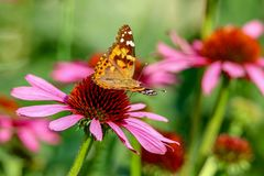 Painted Lady Butterfly sitting on a pink coneflower in the sunlight with wings up Stock Image