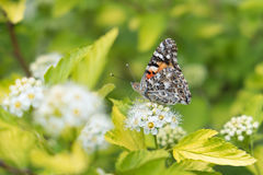 Painted Lady butterfly. A Painted Lady butterfly sitting on a white flower seen from the side Royalty Free Stock Photos