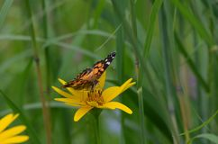 Painted lady butterfly sitting on a yellow flower. Ontario, Canada Stock Image