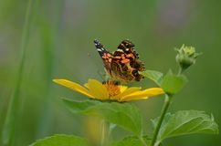 Painted lady butterfly sitting on a yellow flower. Ontario, Canada Stock Photo