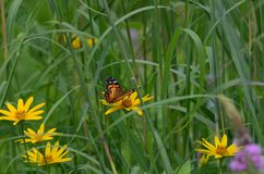 Painted lady butterfly sitting on a yellow flower. Ontario, Canada Royalty Free Stock Images