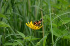 Painted lady butterfly sitting on a yellow flower. Ontario, Canada Stock Photography