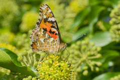 Painted Lady butterfly sucking nectar from green flower Stock Photography