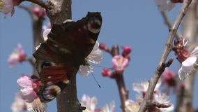 Painted Lady butterfly is suckling nectar from apricot blossom stock video footage