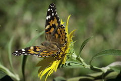 Painted Lady Butterfly on Sunflower in the Meadow Royalty Free Stock Photos