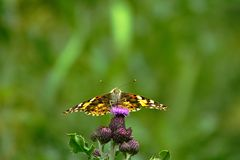 Painted Lady butterfly on a thistle flower. stock photography